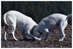 AKC Registered Labradors Retreiver Stud