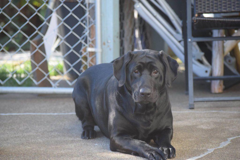 Black Female Labrador Retriever