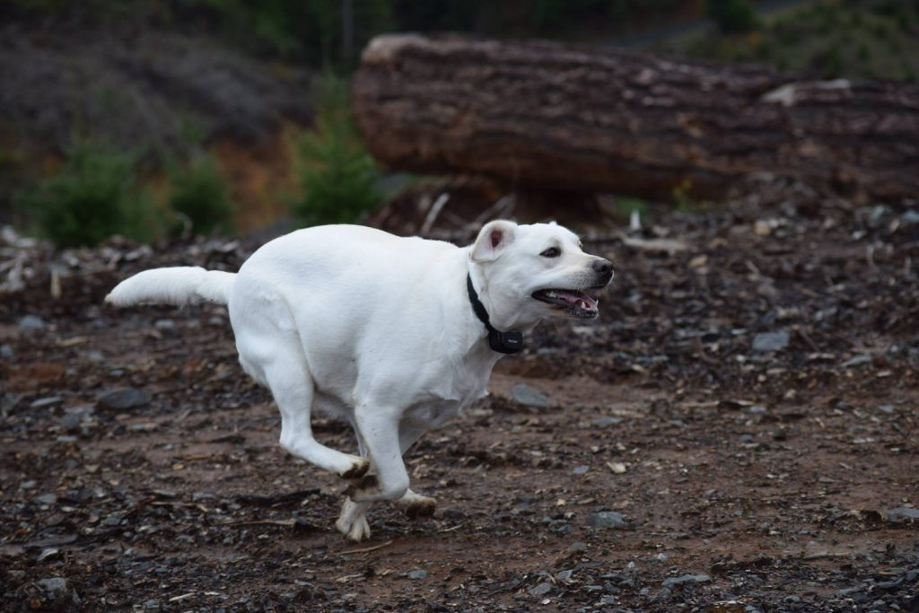 Energetic Labrador Retrievers