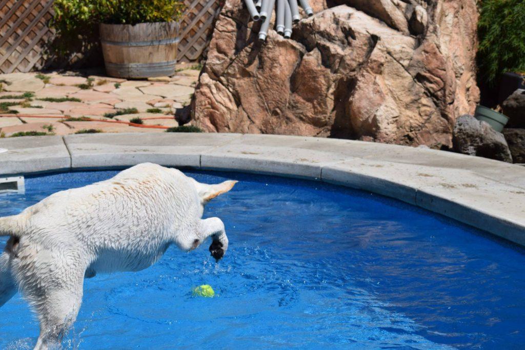 Labrador Breed