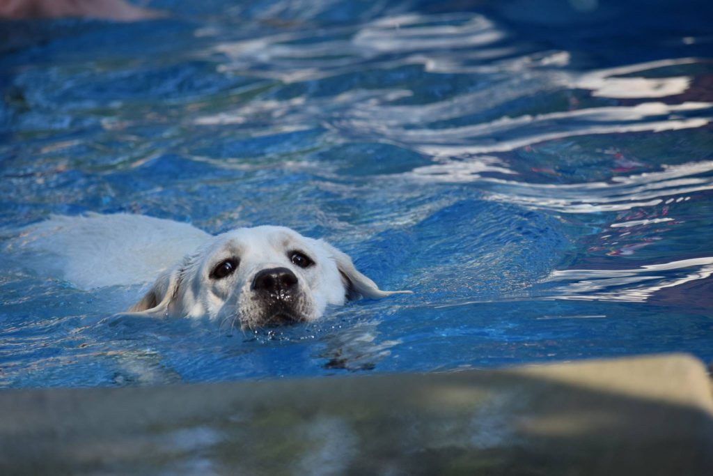 Water Lover Labrador Retriever