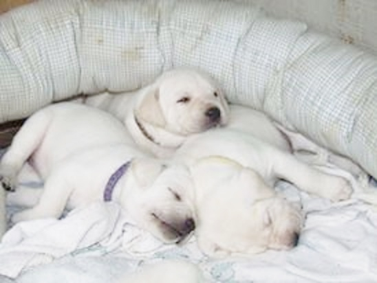 White Litter of Labrador Puppies
